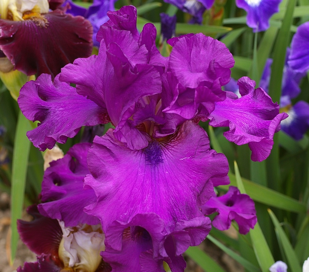 Parcs producteur d 39 iris route ph m re des iris - Langage des fleurs iris ...