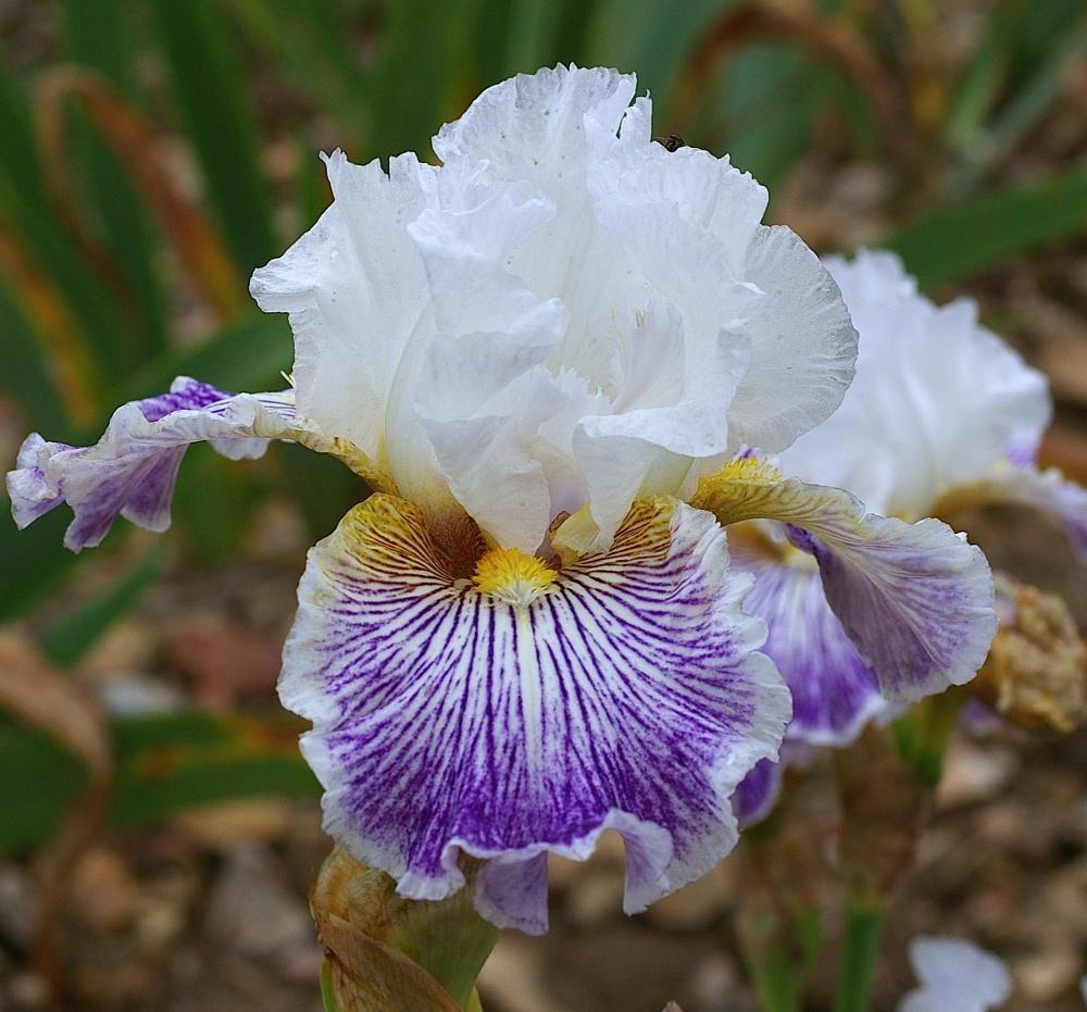 Iris parks producers route phmre des iris cayeux iris producer izmirmasajfo